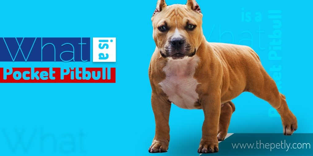 Cover image of the article on what is Pocket Pitbull
