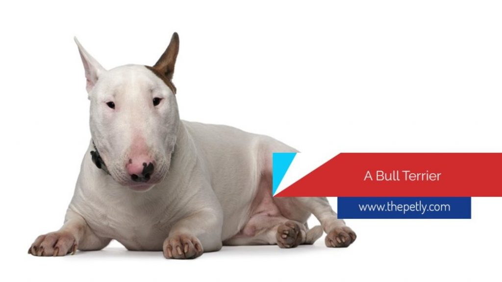 The Bull Terrier Dog