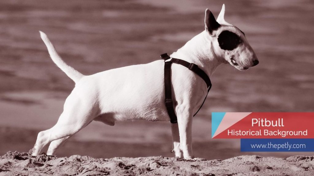 image of the Pitbull historical background