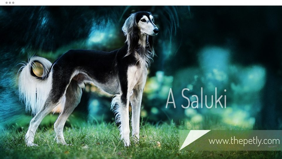 A Picture of A Saluki Dog Breed