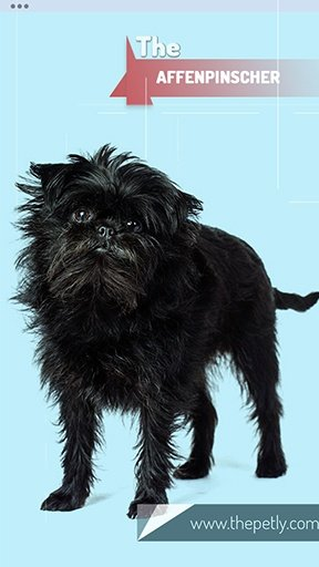 Image of the Affenpinscher