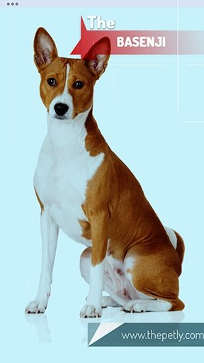 The image of the Basenji