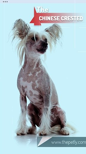 The image of The Chinese Crested Dog Breed