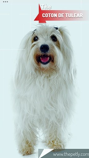 The picture of the Coton De Tulear dog breed