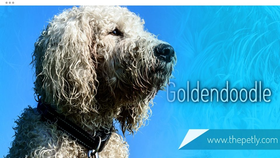 A Picture of a Goldendoodle Dog Breed