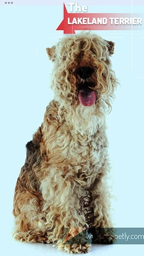 The image of the Lakeland Terrier dog breed