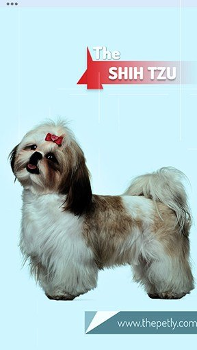 The image of the Shih Tzu dog breed
