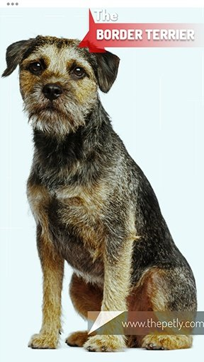 The picture of the Border Terrier dog breed