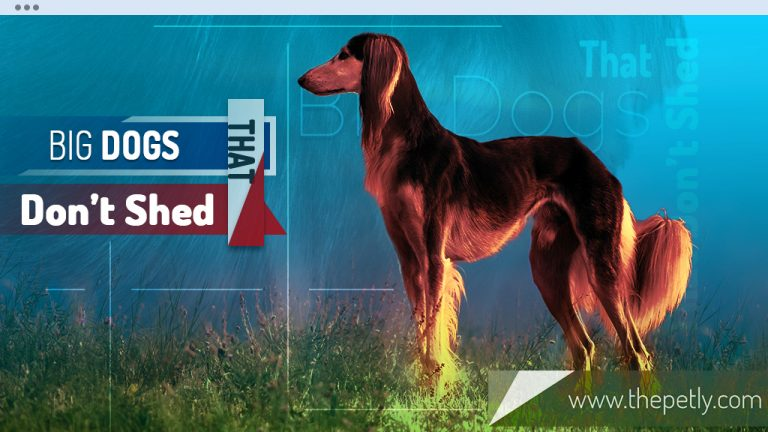 6 Large Dogs That Dont Shed (Hypoallergenic Dog Breeds)