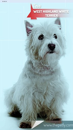 The picture of the West Highland White Terrier dog bree