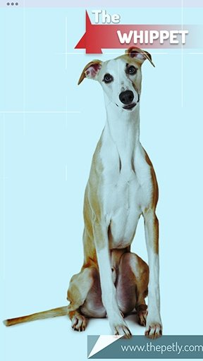 The picture of the Whippet dog breed