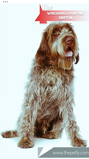 The picture of the Wirehaired Pointing Griffon dog breed