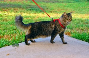 cat on red harness