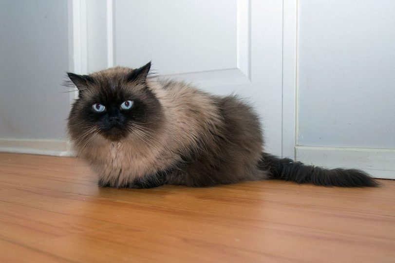 fluffy persian cat