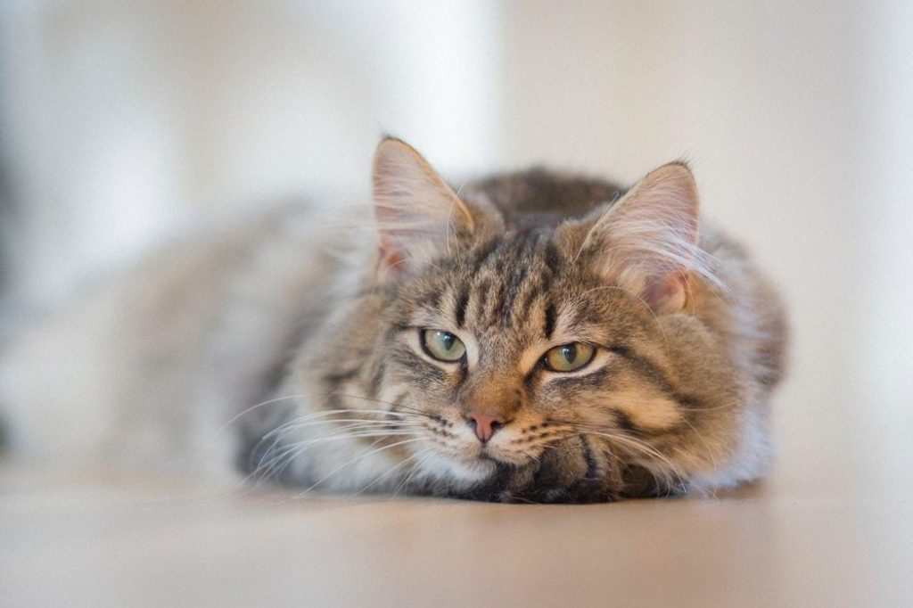 relaxed long haired cat