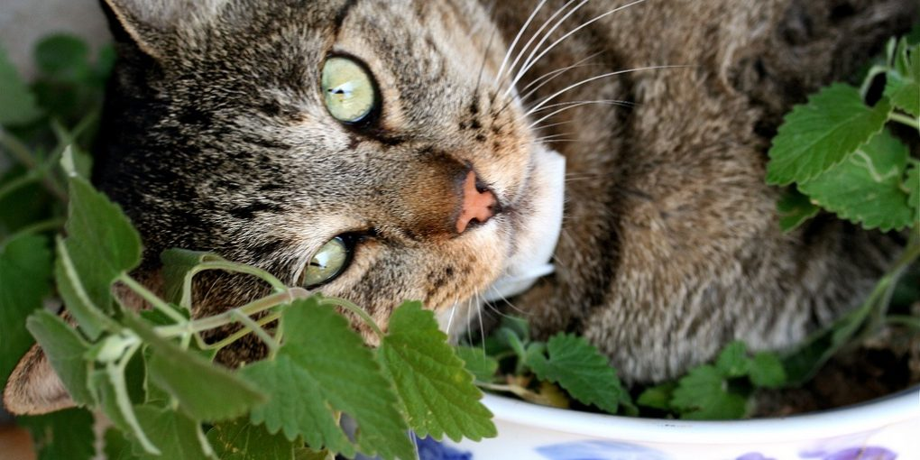 Is catnip safe for cats?