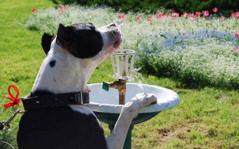 How Long Can A Dog Go Without Water? (How Long Is Safe?)