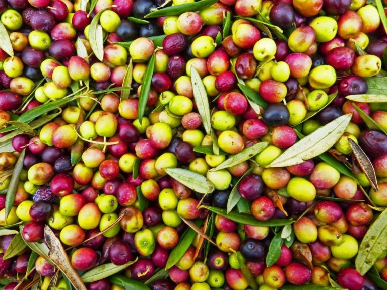 Can Dogs Eat Olives Safely (Black or Green)?