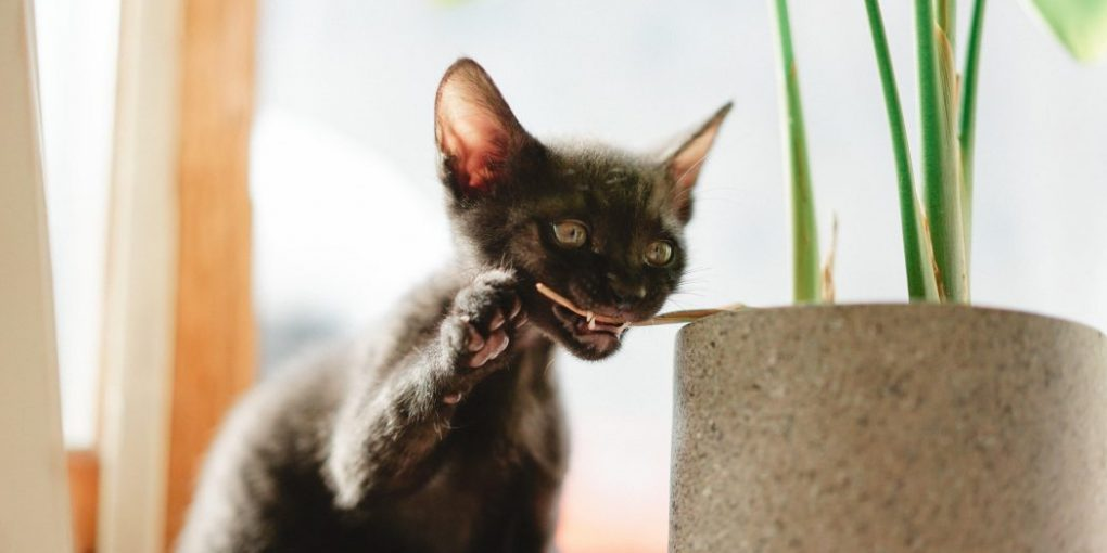 Facts about Lykoi Cat