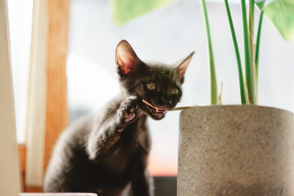 Lykoi Cat chewing plant