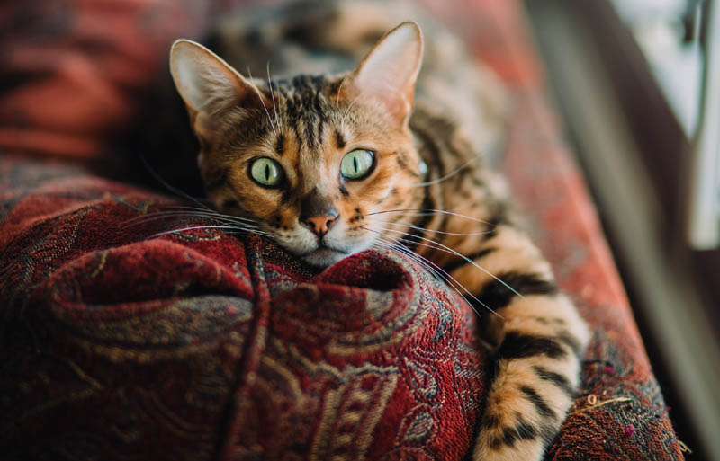 Bengal cat on bed