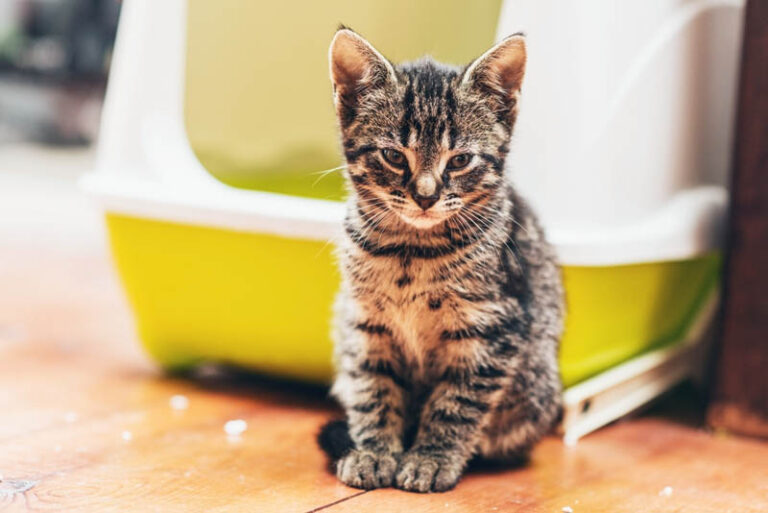 Excessive Urination in Cats (Polyuria): Causes & Treatment