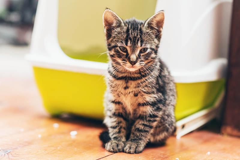 kitten in front of litter box
