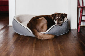 Brown dog in bed