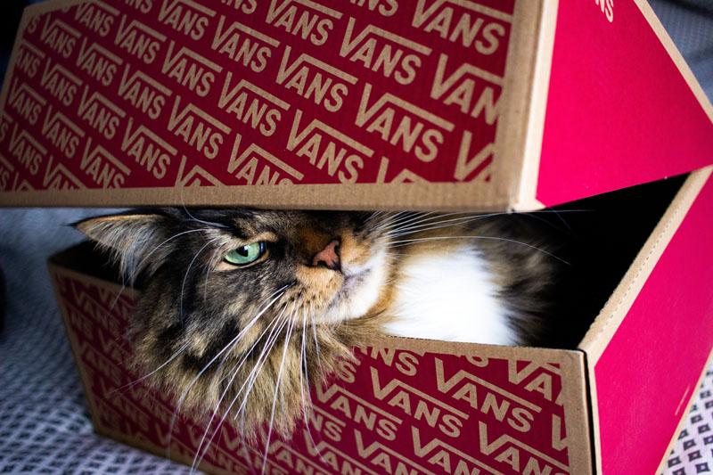 cat inside shoebox