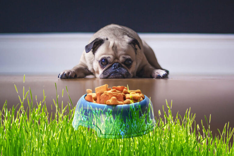 Help! Dog Won't Eat His Food But Will Eat Treats (Solve It Now)